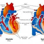 心房細動:心臓の構造、収縮の仕組み、心電図の見方