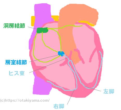 心臓(刺激伝道系)