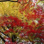 駒込の六義園と旧古川庭園の紅葉を愛でる爺散歩!